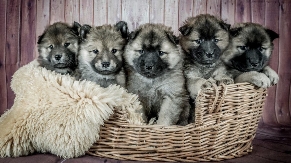 Hundewelpen – Direkt vom Hundezüchter kaufen oder auch über privat?
